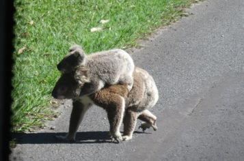 Crossing the road, our bus stopped for this Koala Mommy and baby