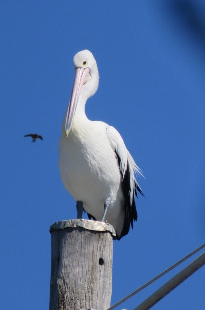 Pelican, actually saw him land.