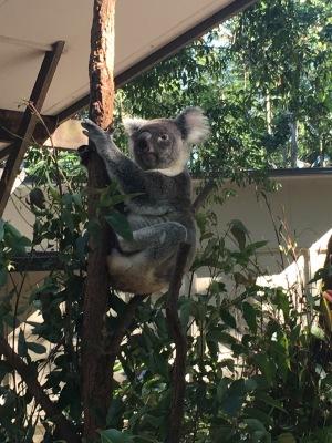 Koala ~ love them.