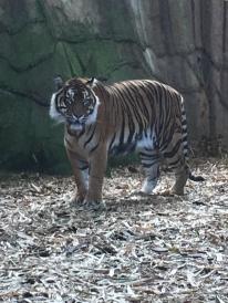 BEAUTIFUL TIGER!